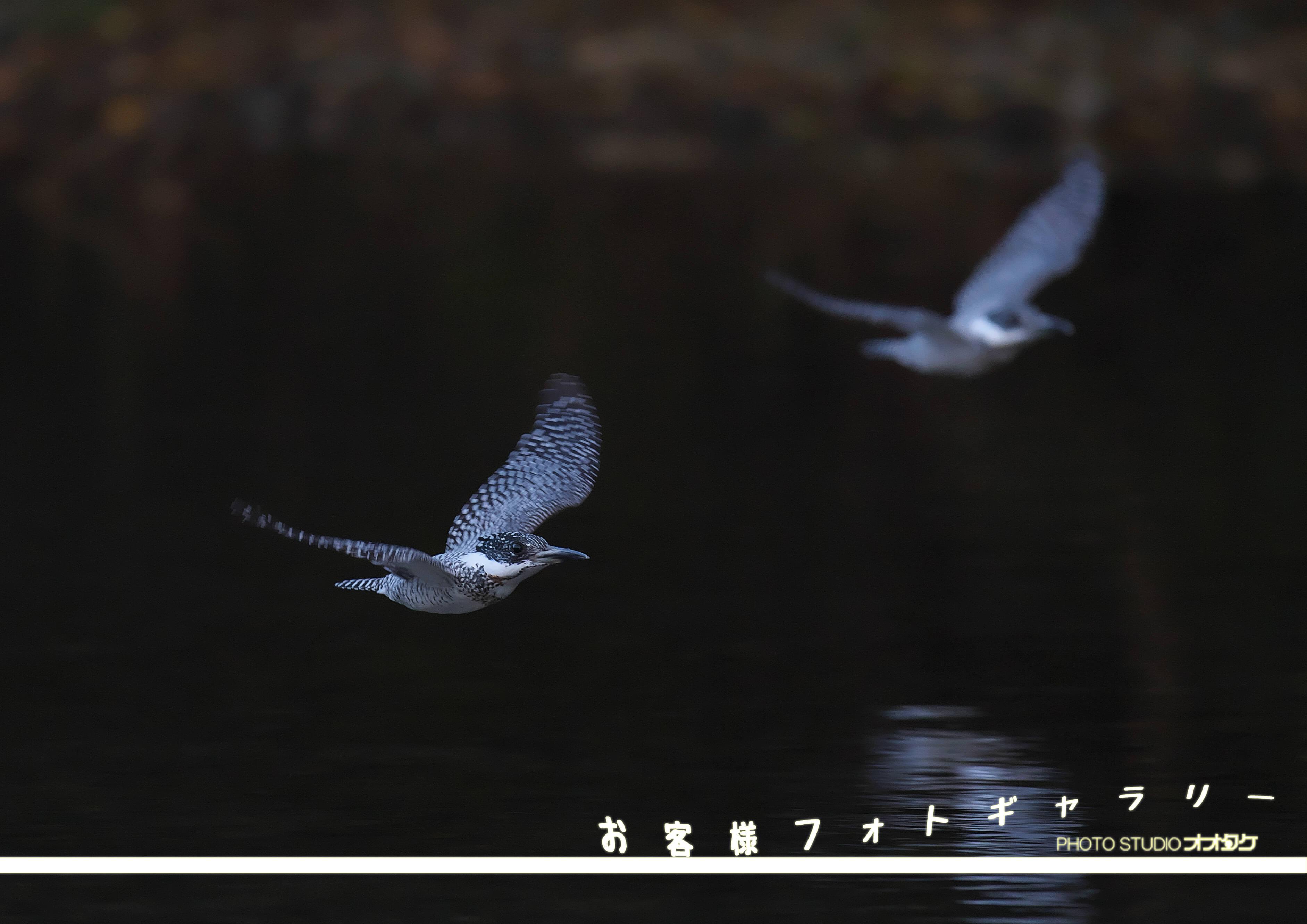 ヤマセミ,撮影,ガイド,オオタケカメラ