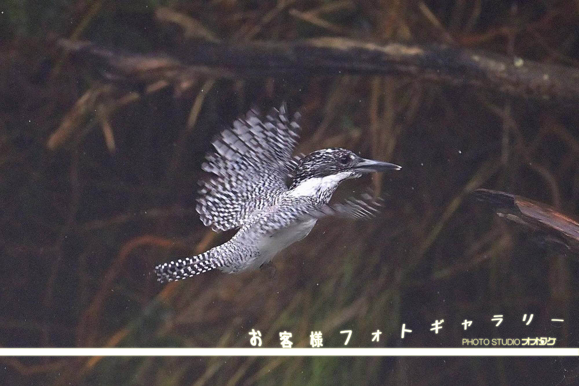 オオタケカメラ,ヤマセミ,會津秘密基地