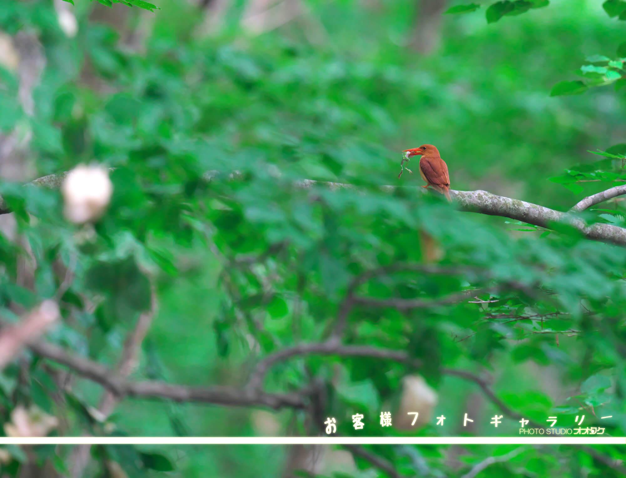 オオタケカメラ,アカショウビン,會津秘密基地